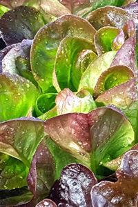 Organic Red Butterhead Lettuce