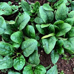 Organic Leaf Spinach