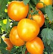 Organic Jubilee Tomato Plants