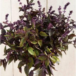 Organic Aromato Basil Plant