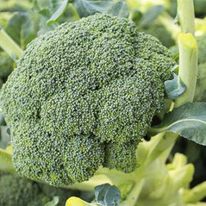Organic Belstar Broccoli Plant