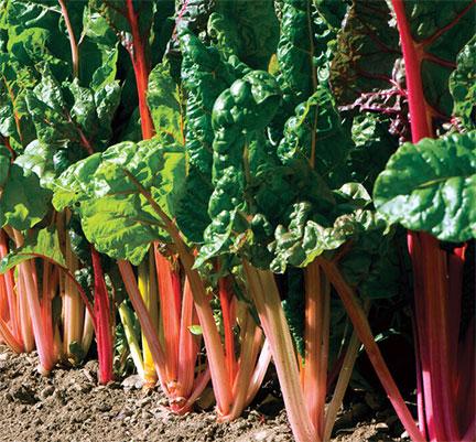 Organic Brightlights Swiss Chard Plant