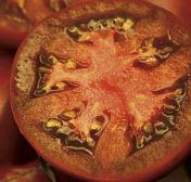 Organic Cherokee Purple Tomato Plant