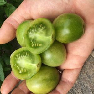 Organic Doctors Green Tomato Plant