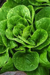Organic Green Butterhead Lettuce