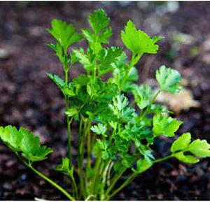 Organic Italian Flat Leaf Parsley Cut Bundle