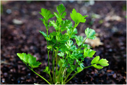 Organic Italian Flat Leaf Parsley Plant