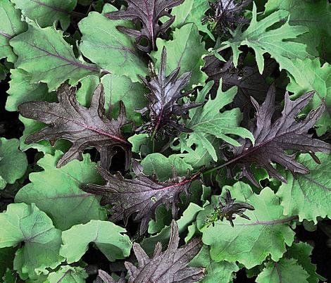 Organic Kale Mix Plant