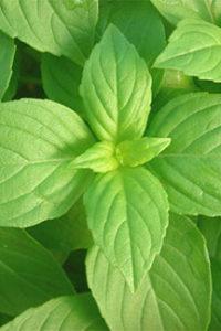 Organic Lemon Basil Plant