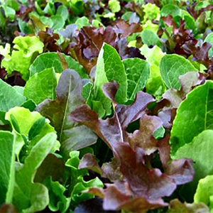 Organic Lettuce Mix Plant