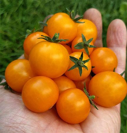 Organic Orange Hat Tomato Plant