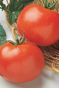 Organic Rutgers Tomato Plant