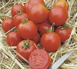 Organic Stupice Tomato Plant