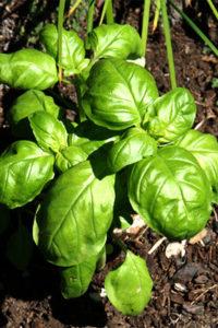 Organic Sweet Italian Basil leaf