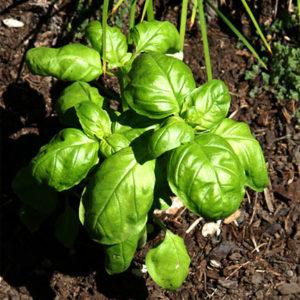 Organic Sweet Basil Leaf