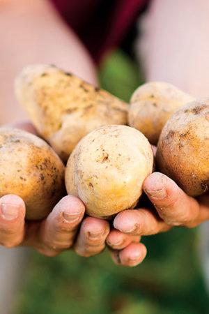 Organic Kennebec Potatoes